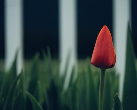 Unsplash Tulip 1